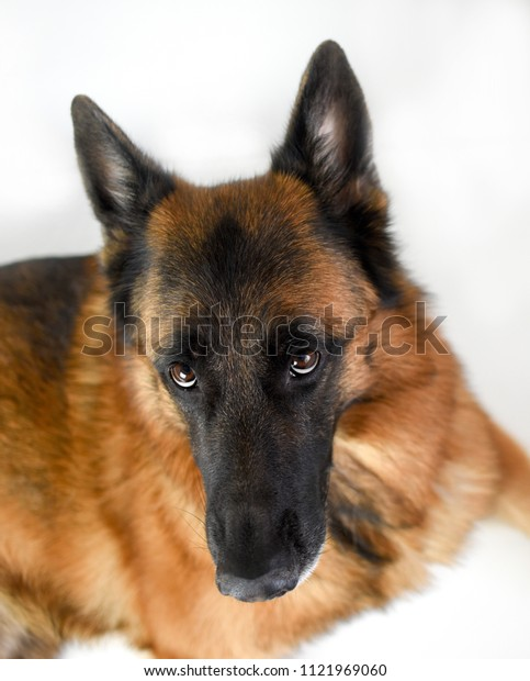 Portrait of adult German Sheppard, 5 years old, in front of white background