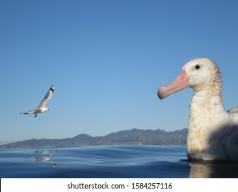 Portrait of an adult Gibson's Albatross (Diomedea gibsoni) swimming offshore Kaikoura, New Zealand, with a flying Red-billed Gull and the coast in the background.