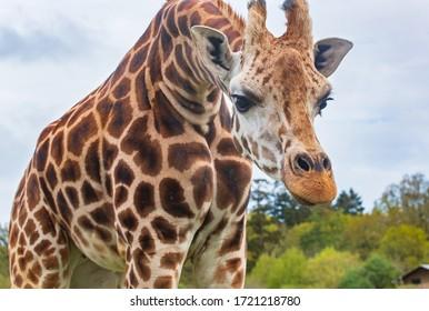 portrait of an adult giraffe
