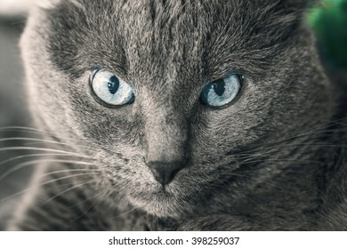 Portrait of adult gray cat with blue eyes