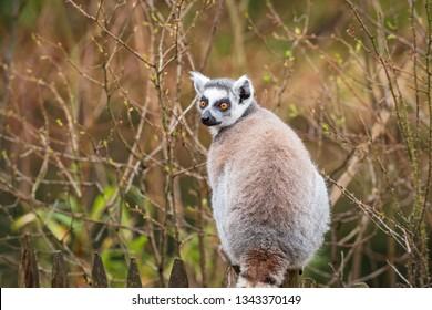 Portrait of an adult lemur katta from the back