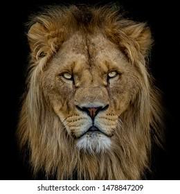 Portrait of an Adult Lion on Black Background, wildlife Photo
