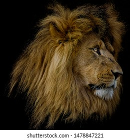 Portrait of an Adult Lion on Black Background, wildlife Photo
