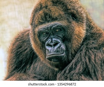 Portrait of an Adult Male Gorilla staring right into the camera