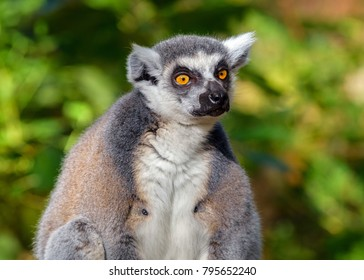 Portrait of an adult male lemur katta on a green background