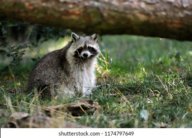 Portrait of adult male lotor common raccoon (procyon lotor) under the tree trunk. Photography of nature and wildlife.