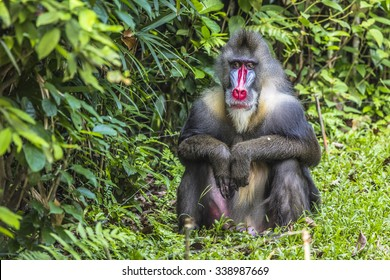 Portrait of the adult male mandrill Visible noise at 100%.