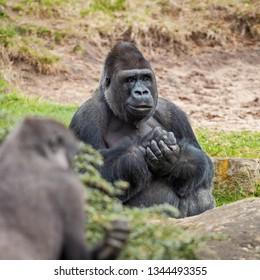 Portrait of an adult male western lowland gorilla
