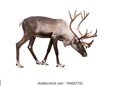 Portrait of an adult reindeer on a white background