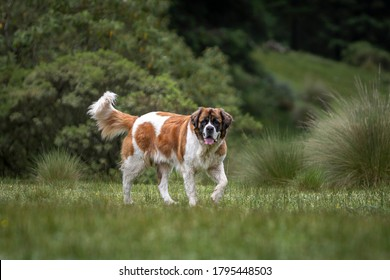 portrait of adult saint bernard purebred dog with nature vegetation behind