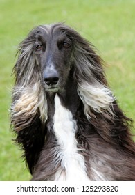 The portrait of Afghan Hound