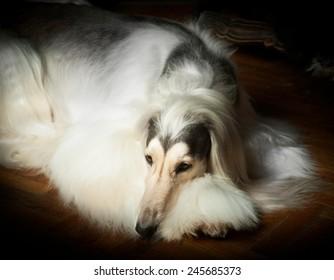 portrait of an afghan hound in studio