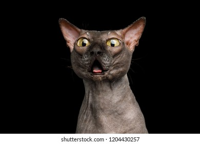 Portrait of Afraid Old Sphynx Cat, opened toothless mouth and Stare with Huge eyes Isolated on Black Background, front view