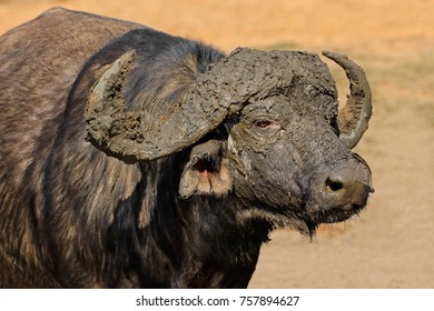 Portrait of an African or Cape buffalo (Syncerus caffer), Kruger National Park, South Africa