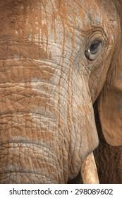 Portrait of an African Elephant after a mud bath.