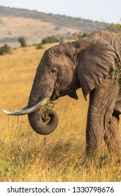 Portrait of African elephant in the Savannah