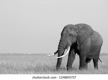 Portrait of a African elephant in Savannah, Masai Mara