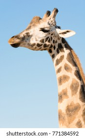Portrait of an African giraffe. Head and long neck. Wild animal. Blue sky. Protection of wildlife.