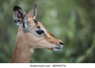 Portrait of African Impala Antelope Close Up from Side at Kruger National Park, South Africa