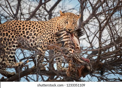 Portrait of African Leopard, Panthera pardus, close up male on a tree, eating prey, looking at camera. Wild animal action scene.  Wildlife photography in Okonjima, Namibia.
