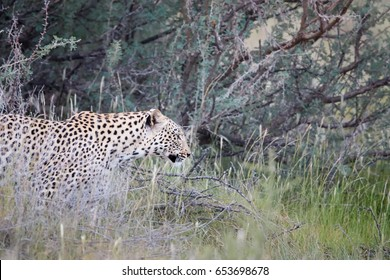 Portrait of African Leopard, Panthera pardus in early morning Kalahari. Close up leopardess against blurred bush. Kgalagadi, South Africa.