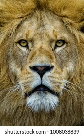 Portrait of an African lion