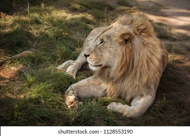 Portrait of the African Lion