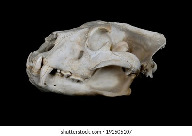 Portrait of an African Lion Skull (Panthera leo).