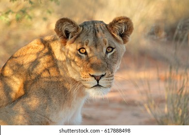 Portrait of an African lioness (Panthera leo), South Africa