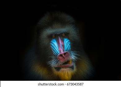 Portrait of African mandrill at black background, close up