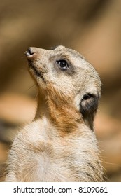 Portrait of African meercat head brightly lit by sun looking upwards