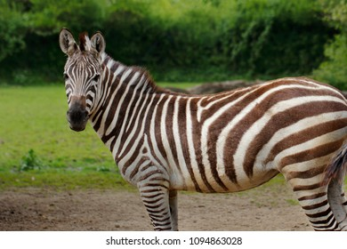 Portrait of African striped coats zebra. Photography of wildlife.