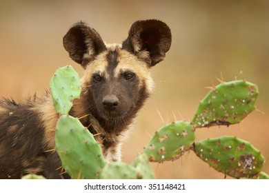 Portrait of African Wild Dog Lycaon pictus puppy staring to camera behind prickly pears in close up distance. Low angle photography. Typical african reddish soil. Blurred background. Soft light.