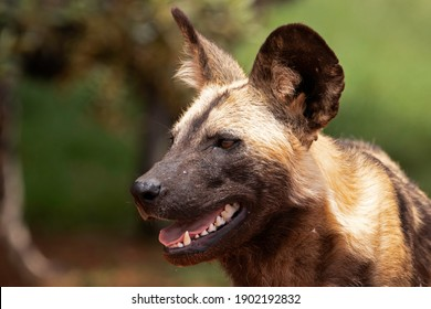a portrait of an African Wild Dog in the Rhino and Lion park, south africa