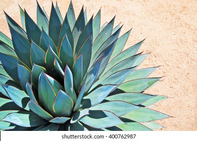 Portrait of agave on arid soil