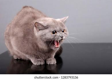 portrait of aggressive british cat