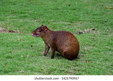 Portrait of agouti sitting on a green grass