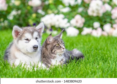 Portrait of a alaskan malamute puppy and adult maine coon cat on green summer grass. Empty space for text