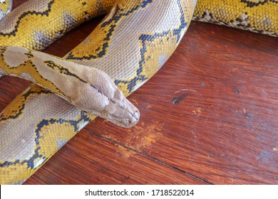Portrait of a Albino reticulated python snake. Beautiful reptile. International Snake Day, July 16th. Concept of pet reptiles International Reptile Day. Snake with beautiful yellow texture.