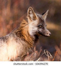 Portrait of an alert watchful cross fox, a colour variant of the red fox, Vulpes vulpes, hunting for mice
