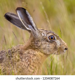 Portrait of alerted European Hare (Lepus europeaus) hiding in grass and relying on camouflage