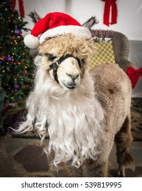 A portrait of an alpaca dressed up as Santa Claus