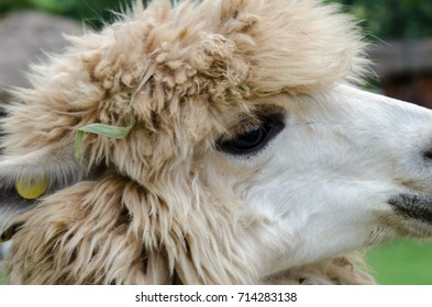 Portrait of alpaca on the blurred background.