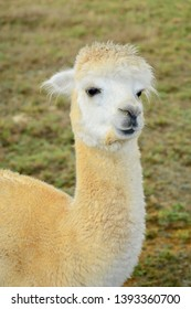 A portrait of an alpaca (Vicugna pacos), posing for the photo.  This is a species of South American camelid.