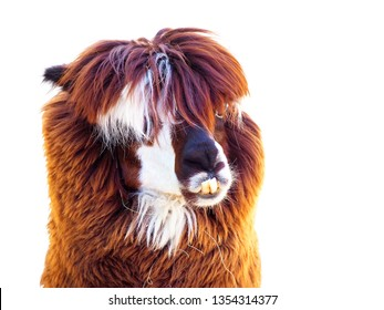 Portrait of alpaca or vicugna pacos, south american camelid isolated on white background. Alpaca with crooked teeth