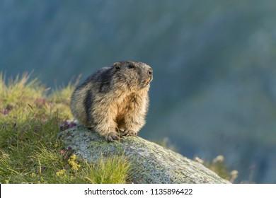 portrait of alpine marmot, marmot on a rock