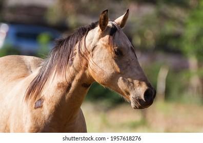 Portrait of a Amarillo horse