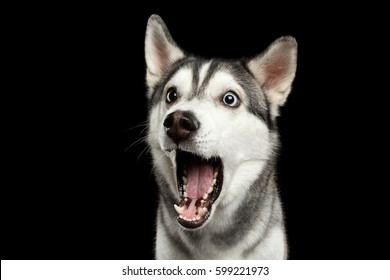 Portrait of Amazement Siberian Husky Dog opened mouth surprised on Isolated Black Background, front view