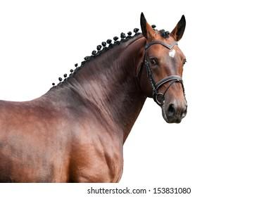 Portrait of amazing bay stallion isolated