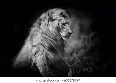 Portrait of an amazing Lion in the Serengeti, Tanzania